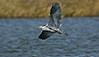 Grey Heron 1