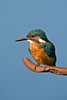 Kingfisher 1