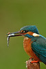Kingfisher 8