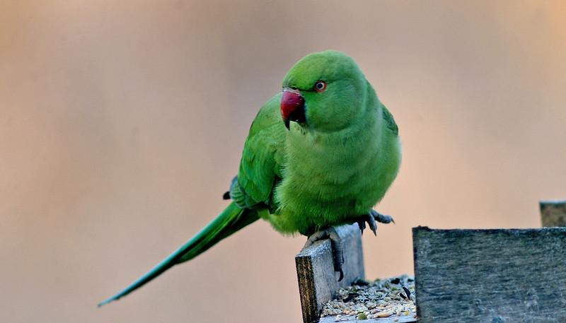 Ring-necked Parakeet 1