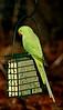 Ring-necked Parakeet 2