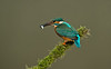 Kingfisher 9