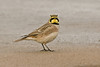 Shore Lark 3 Southport November 2009