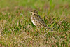 Red-throated Pipit Golf Course St Mary's Oct 2011