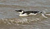 Guillemot a 1stw September