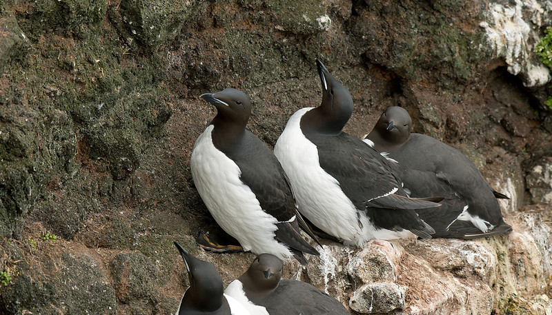 Brunnich's Guillemot, Iceland June 2012