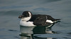 Razorbill d adult winter February
