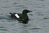 Black Guillemot Shetland April 2013