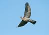 Wood Pigeon 6