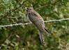 Eurasian Cuckoo juv 1