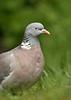 Wood Pigeon 5