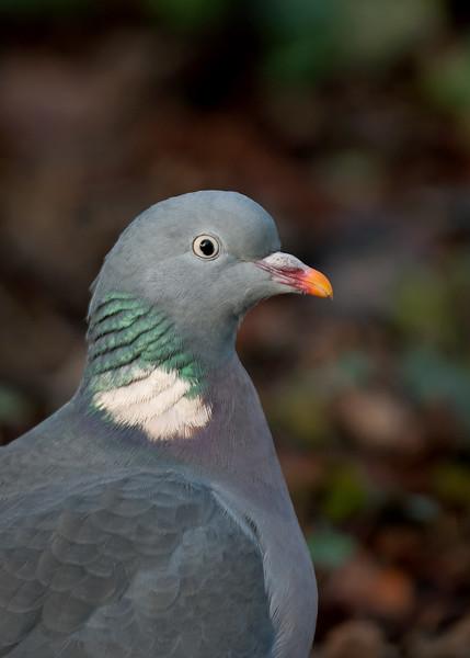 Wood Pigeon 1