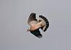 Wood Pigeon 4