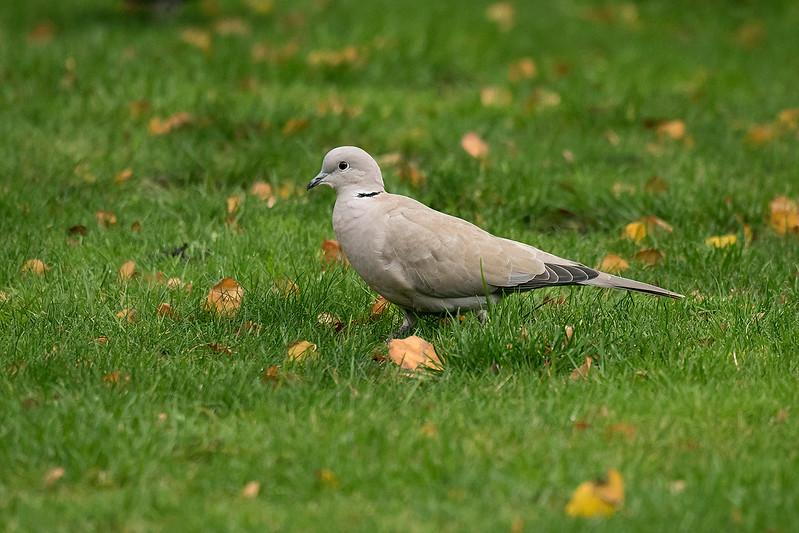 Collared Dove 4