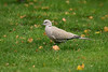 Collared Dove 4