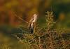 Eurasian Cuckoo adult male 1