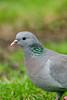 Stock Dove 2