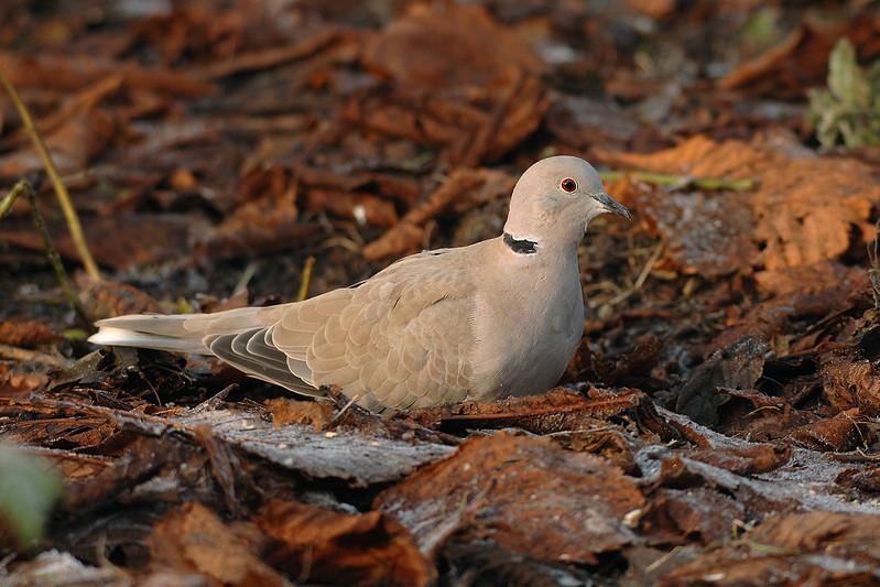 Collared Dove 3