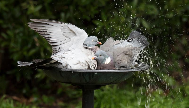 Wood Pigeons in bird bath 2