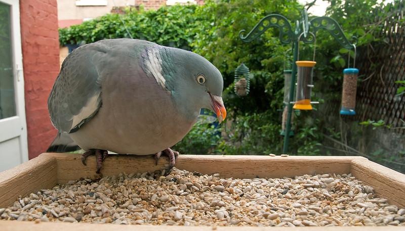 Wood Pigeon 2
