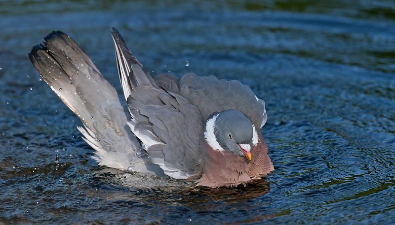 Wood Pigeon 3