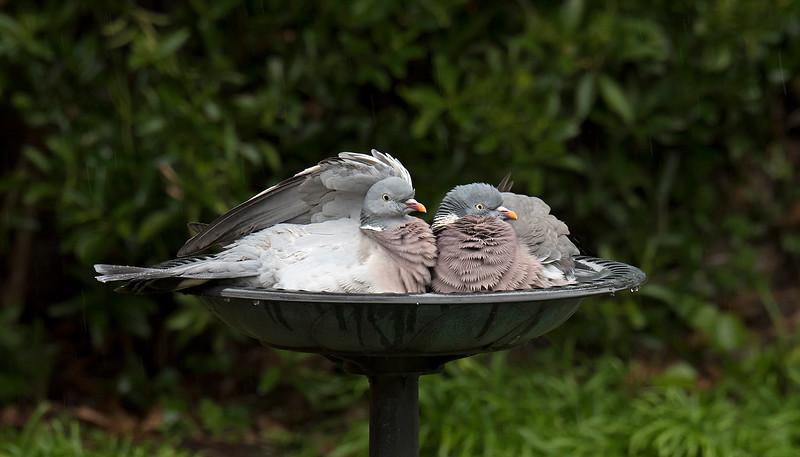 Wood Pigeons in bird bath 1