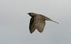 Cuckoo juvenile Lunt Meadows 2