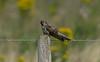 Cuckoo juvenile Lunt Meadows 1