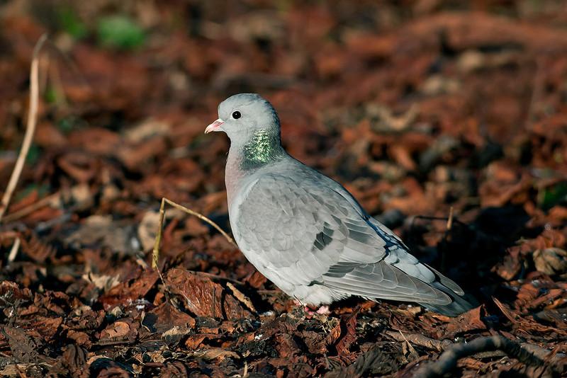 Stock Dove 3