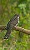 Eurasian Cuckoo juv 2
