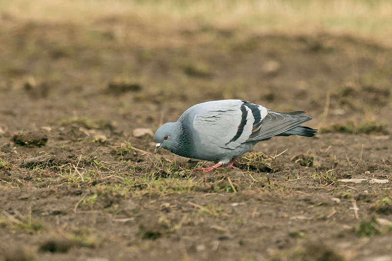 Rock Dove 2 Shetland April 2013