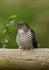 Eurasian Cuckoo juv 3
