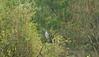 Eurasian Cuckoo adult male in rain