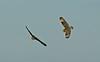 Short-eared Owl 4 Merseyside