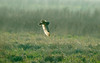 Short-eared Owl 7 Parkgate
