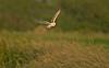 Barn Owl 7 Lancashire