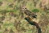 Short-eared Owl 17