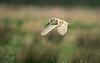 Barn Owl 13