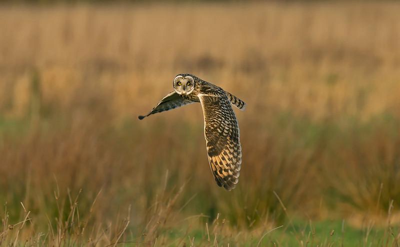 Short-eared Owl 3 Merseyside