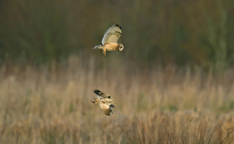 Short-eared Owl 2 Merseyside