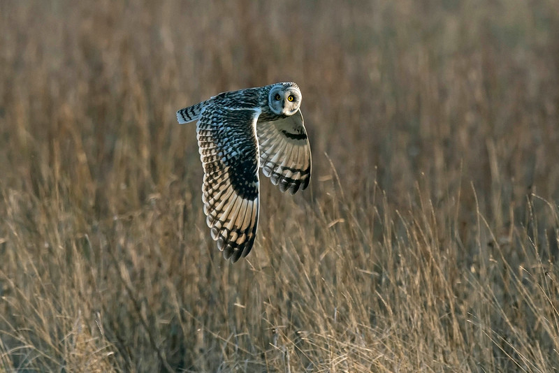 Short-eared Owl 5 Parkgate