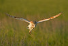 Barn Owl 8
