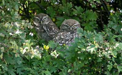 Little Owl 13