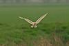 Barn Owl 4 Lancashire