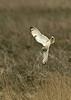 Short-eared Owl 6 Parkgate