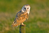 Barn Owl 6 Lancashire