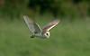 Barn Owl 5 Lancashire