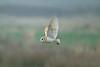 Barn Owl 3 Merseyside