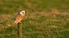 Barn Owl 9