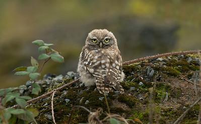 Little Owl 10